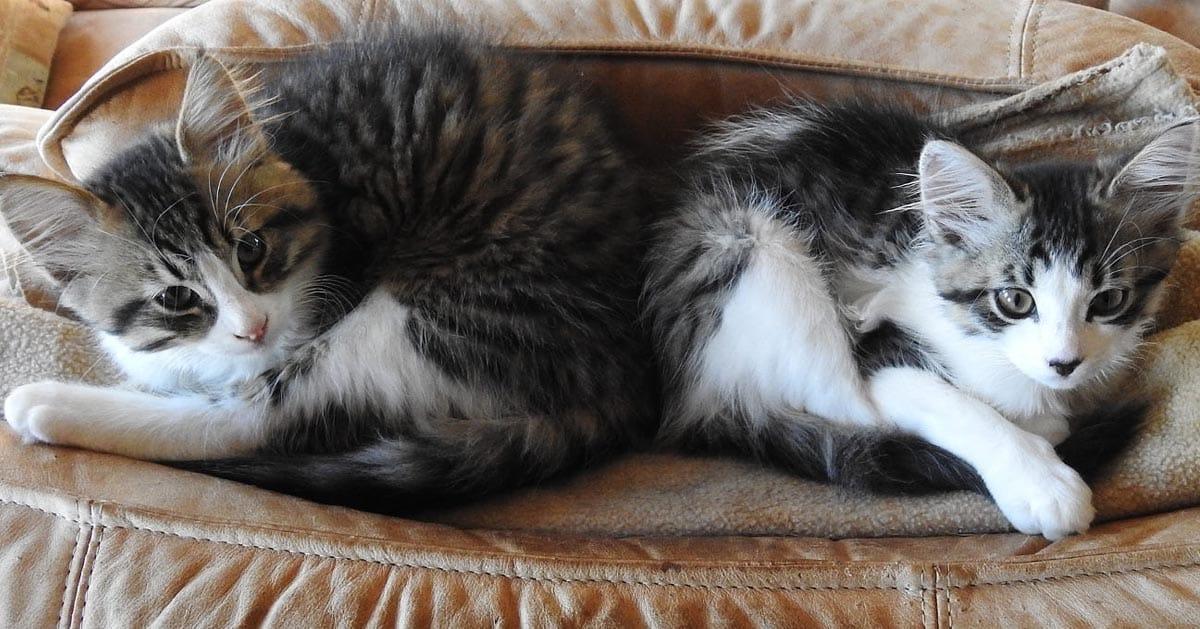 عقیم کردن گربه