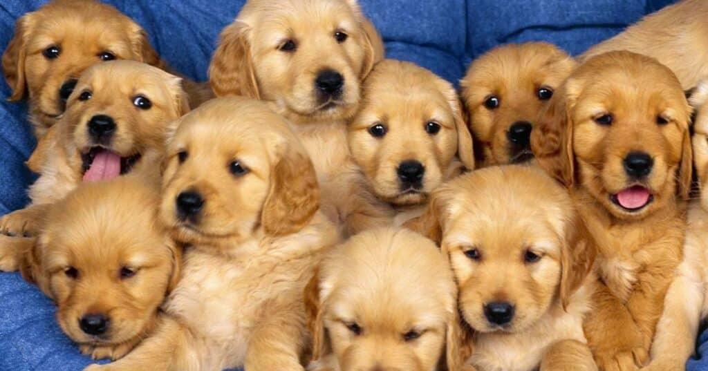 عقیم سازی سگ ماده