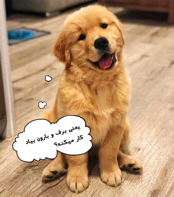قیمت و چشم گیلاسی در سگ