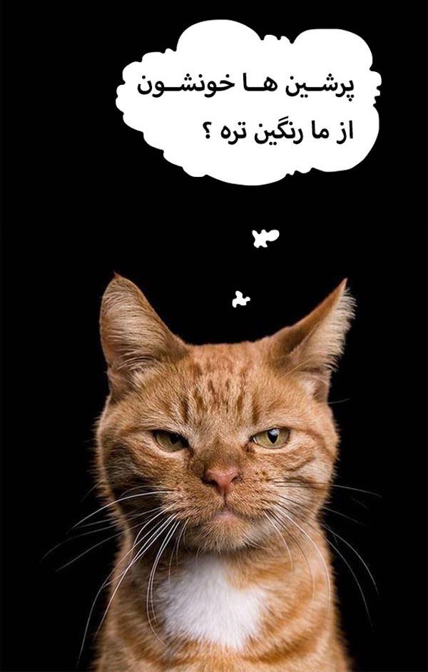 تغذیه بچه گربه پرشین