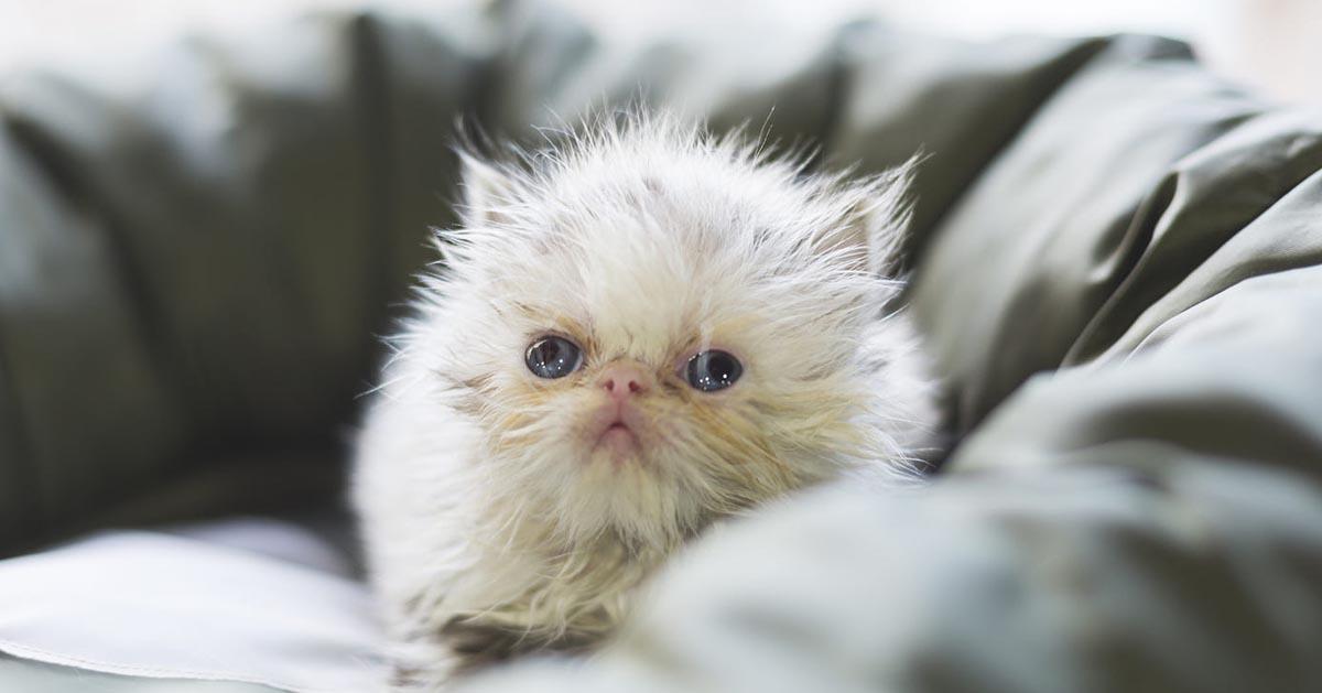 گربه ایرانی |