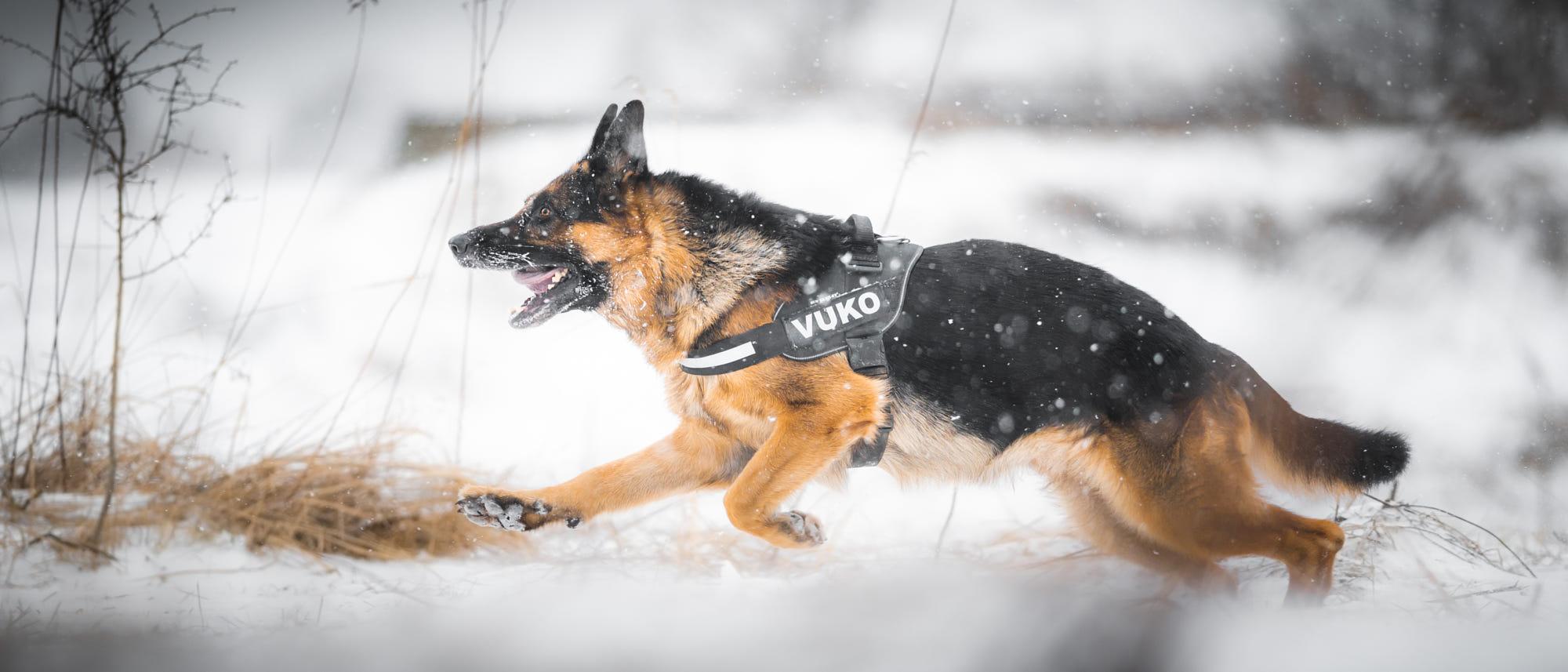 سگ ژرمن شپرد اصیل