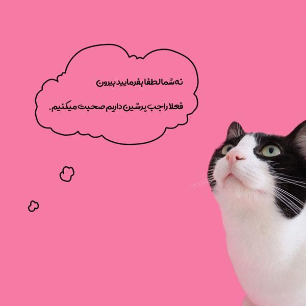 بهترین نژادهای گربه ایرانی (پرشین کت)