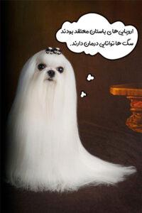 سگ مالتیز