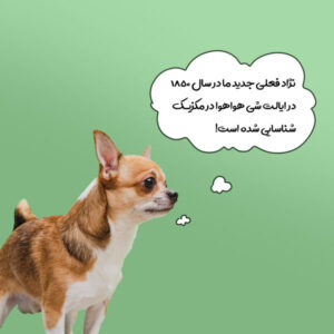 عکس سگ شی هوا هوا + سگ شیواوا
