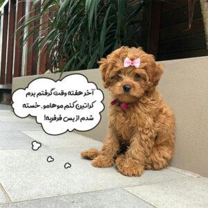 سگ پودل