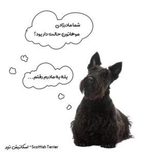 سگ اسکاتیش تریر