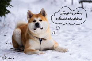 سگ کاری آکیتا