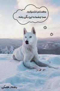 سگ کاری هاسکی