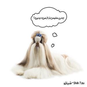 سگ عروسکی شیتزو