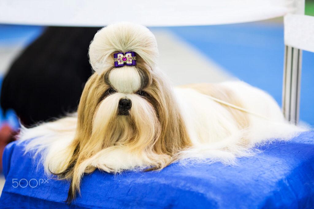 اصلاح مو سگ شیتزو