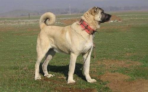 سگ پژدر